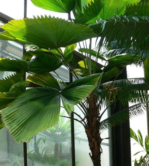 Palmera abanico plantas de nterior que modifican el ambiente