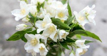 flores de jazmín