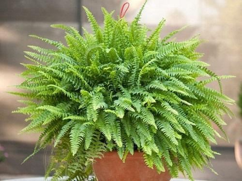 helecho plantas de interior fáciles de cultivar