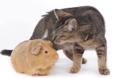 mascotas gato y cuyo