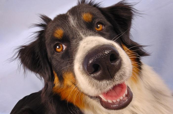 detectar el cáncer mediante el olfato de perro
