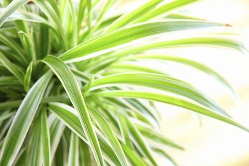 planta araña o cinta de novia