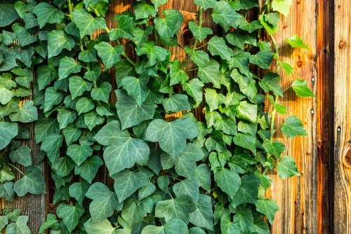 planta hiedra inglesa