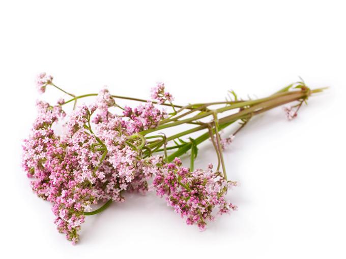 plantas para habitación flores de valeriana