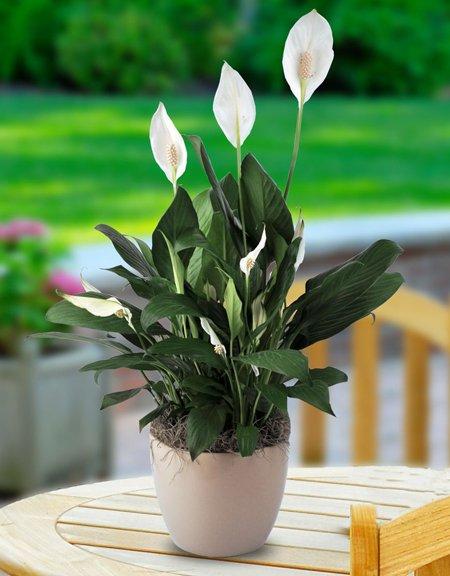 plantas de habitación lirio de paz