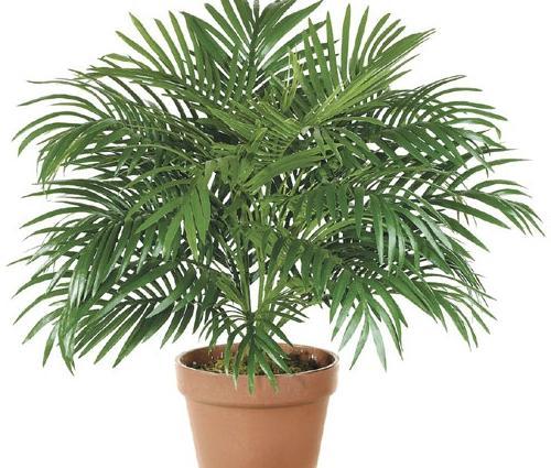 plantas para habitación palma de bambú
