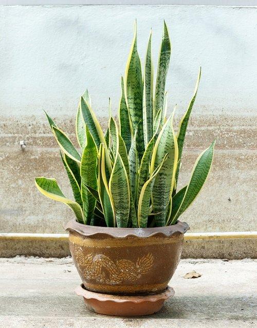 plantas para habitación planta serpiente