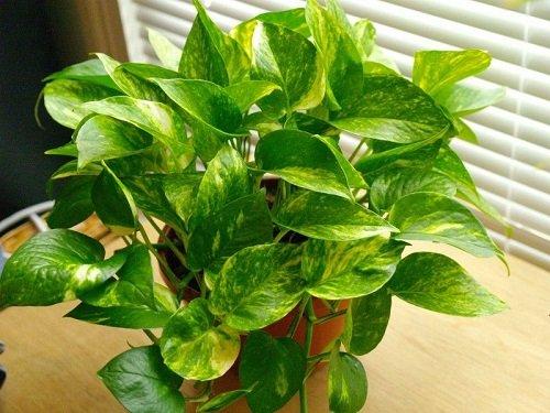 plantas para habitación potus