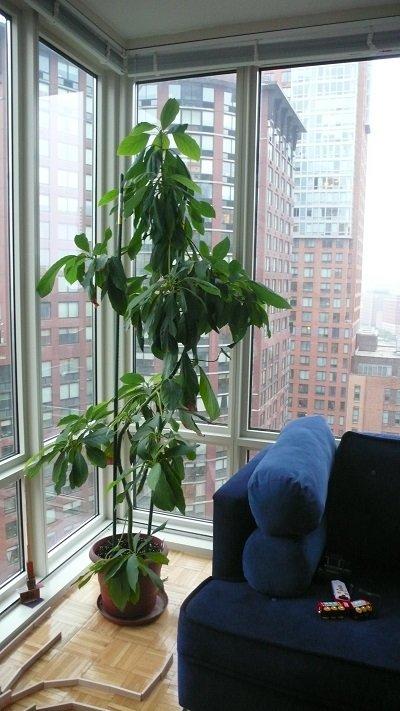 árbol de aguacate en sala de estar