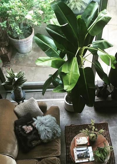 árbol de plátano en sala de estar