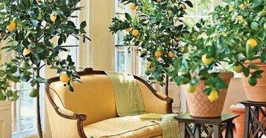 árbol de limón en sala de estar