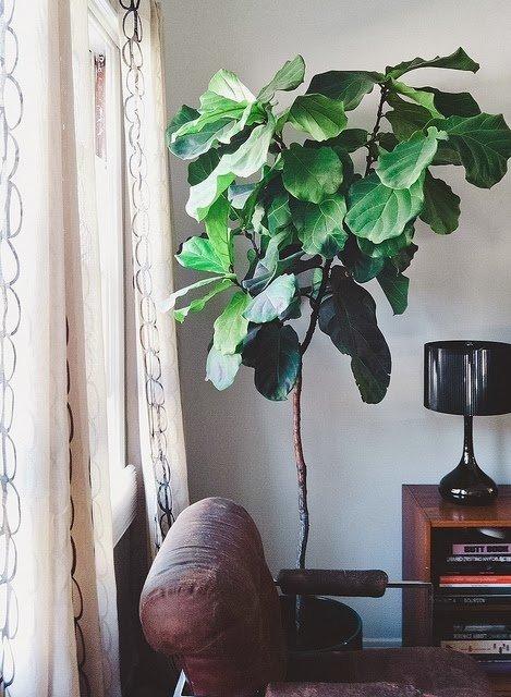7 rboles frutales que puedes crecer en tu sala de estar for Arbol interior