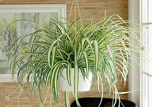 planta araña plantas de poca luz