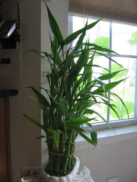 plantas de poca luz bambú de la suerte