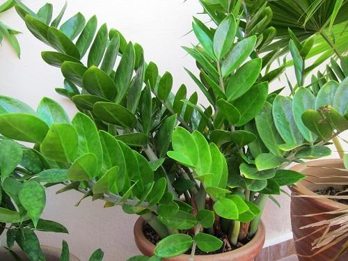 plantas de poca luz zz