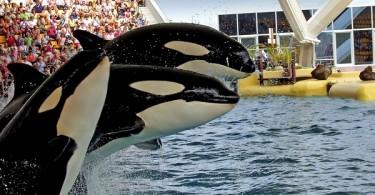 sea world orca ballena