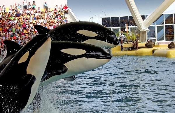 sea world orca ballena cría de orcas