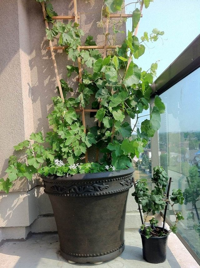 c mo cultivar uvas para crecer en macetas. Black Bedroom Furniture Sets. Home Design Ideas