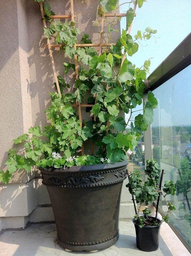 Cómo cultivar uvas en macetas