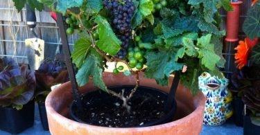 cultivar uvas desde una maceta