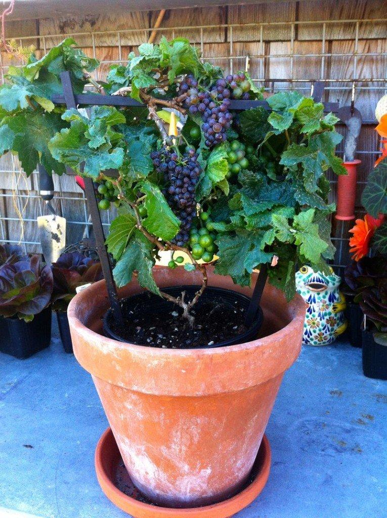 c mo cultivar uvas para crecer en macetas On plantar en macetas
