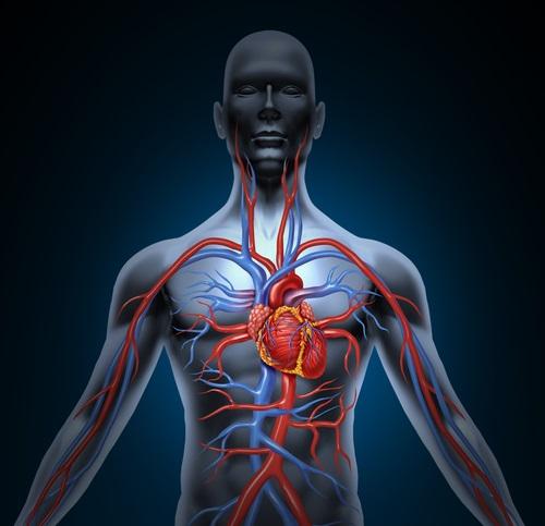 Un sistema circulatorio en óptimas condiciones