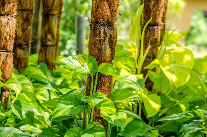 Epipremnum aureum planta julieta que da energía positiva