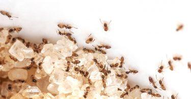 hormigas de azúcar