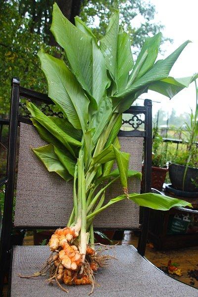 Como sembrar curcuma en maceta semillas casa dise o for Como sembrar semillas en macetas