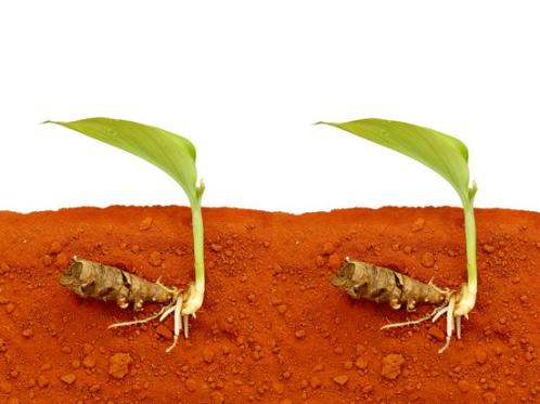 cultivar-curcuma-3