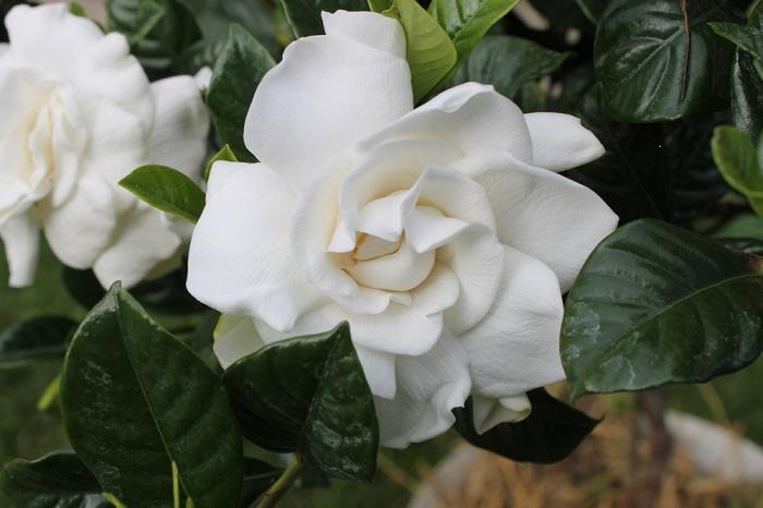 gardenia-plantas-de-olor