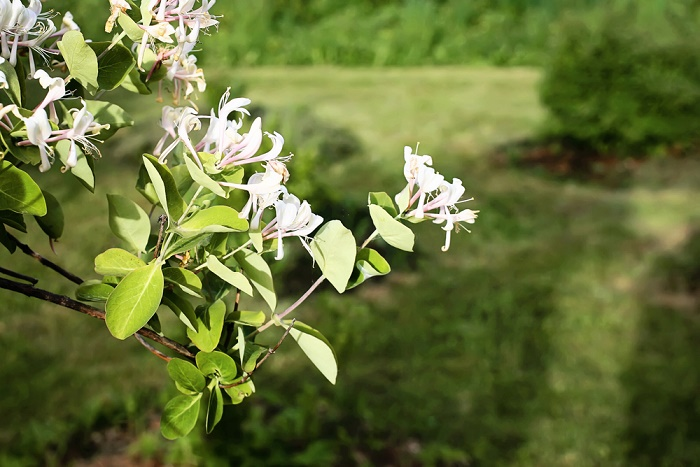 madreselva-blanca-plantas-de-olor