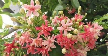 plantas-de-olor-madreselva