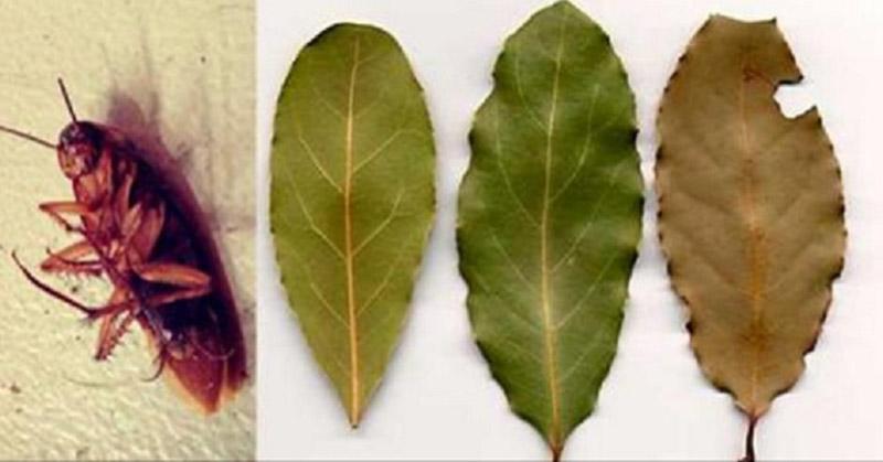 Repeler cucarachas con hojas de laurel y otras hierbas