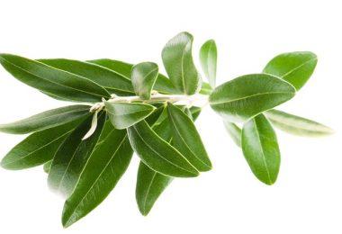 hojas-de-olivo-prevenir-diabetes