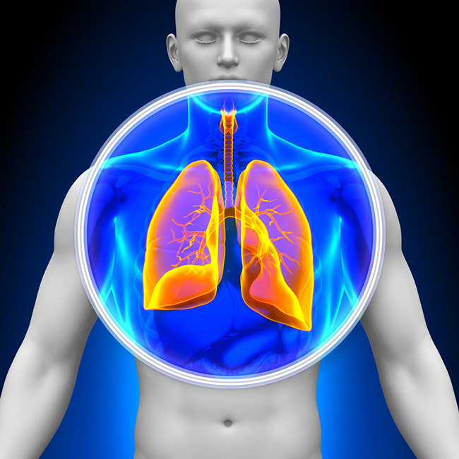 Ilustración de los pulmones