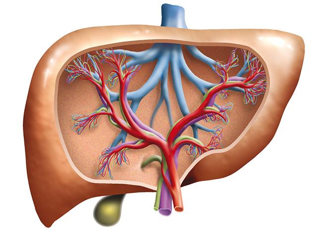 imagen ilustrativa del hígado regenerándose