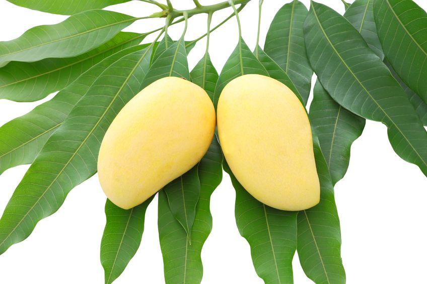 Hojas de mango para regular los niveles de azúcar en la sangre
