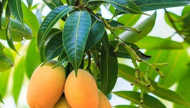 hojas de mango para preparar una infusión para regular la diabetes