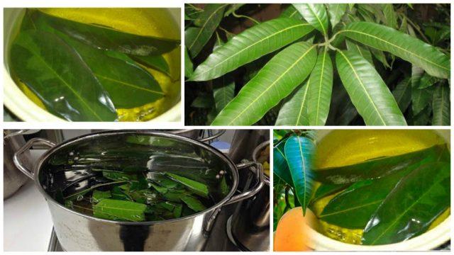 Infusión de hojas de mango para controlar la diabetes