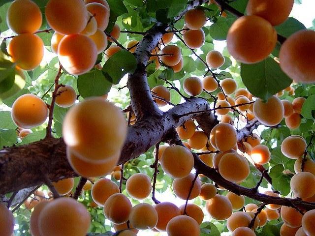 árbol de Albaricoque