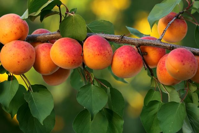 frutos del árbol de durazno colgando de la rama
