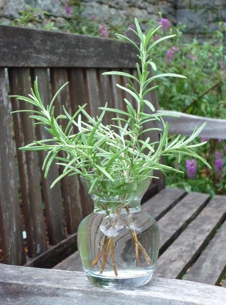 hierbas medicinales romero