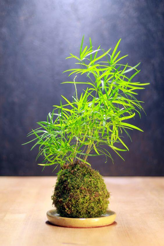una hermosa kokedama hecha en casa