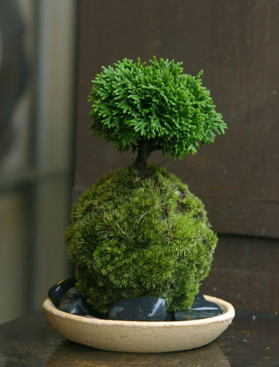 preciosa kokedama bonsai miniatura