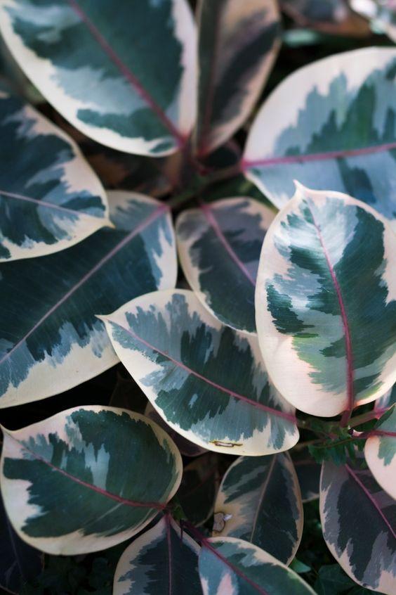hojas de ficus