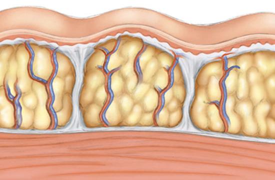 capa de grasa en el cuerpo