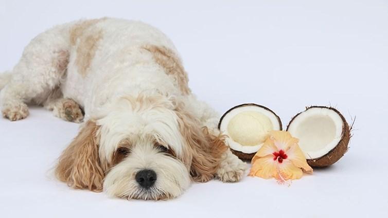 alimentar al perro con aceite de coco