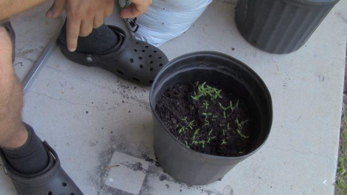 crecer tomates desde rebanadas de tomate