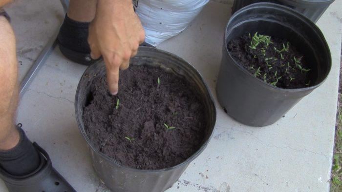 crecer tomates desde tomates podridos